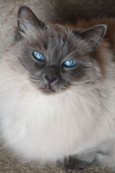Blue Point Raggie. I am the lucky owner of one of these gorgeous creatures