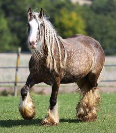 Silver dapple gypsy vanner draft horse