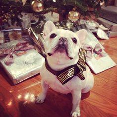 Frenchie. Mabel. Christmas Tree. White. Love. French bulldog