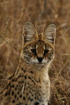 Known in Afrikaans as the Tierboskat, or tiger forest cat, the serval is a medium-sized feline most closely related to the caracal and the African golden cat.