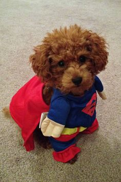 """""""Don't laugh...I'm part of the Super-Hero Dog Brigade...we'll be at the next Poodle Peace Parade. Just call me 'Toy Poodle Superman.'  And this isn't my Halloween Costume!""""..........;o)"""
