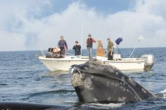 The government moves to protect more than 30,000 square miles of ocean for the North Atlantic right whale.