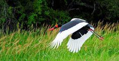 Hwange-Nationalpark - fliegender Sattelstorch