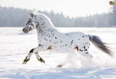 Appaloosa Top 10 Most Expensive Horse Breeds In The World Most Beautiful Horses, All The Pretty Horses, Animals Beautiful, Leopard Appaloosa, Appaloosa Horses, Majestic Horse, Majestic Animals, Horse Photos, Horse Pictures