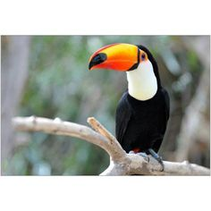Toucan Perched on Branch Photography by Eazl, Size: 18 x 12, Orange