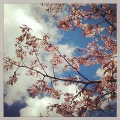 #hanami2015 #Sakura