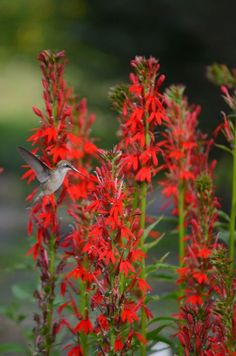 Lobelia cardinalis, Cardinal Flower - 4 feet tall, blooms summer to fall - front and back - Prairie Moon Nursery How To Attract Hummingbirds, How To Attract Birds, All Plants, Garden Plants, Shade Plants, Tree Garden, Summer Plants, Flowering Plants, Flowers Perennials