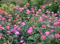 The Thrive!® Good 'n Plenty Rose | Star Roses & Plants