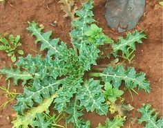 Bostan Otu – Şevketi Bostan Bitkisinin Faydaları | Organik Günler
