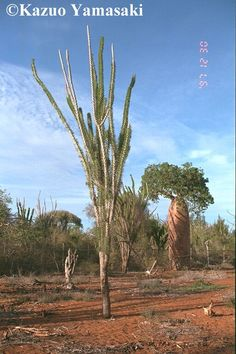 Bombacaceae, from Ifaty, Madagascar