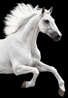 Dramatic white on black, horse with flying mane