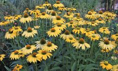 Echinacea 'Leilani' PP 23,526 (Leilani Coneflower) in stock. will not grow from seed.