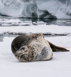 """""""Leopard Seal basking in the snow"""" Photo taken by James T. #OceanwideExpeditions #PhotoContest"""
