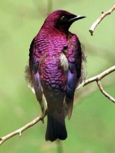 The Purple Starling, also known as the Purple Glossy Starling, is a resident breeder in tropical Africa from Senegal and north Zaire east to Sudan and west Kenya. From Wikipedia. Gorgeous color
