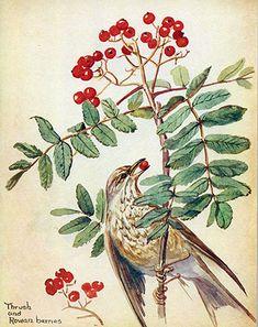 Song Thrush and Rowan berries, August 1906