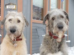 Urban Puppy customers Guinness and Brady, Irish Wolfhounds. They're sporting XL copper tags with silver conchos. Giant Dog Breeds, Irish Wolfhounds, Whippet, Big Dogs, Beautiful Dogs, Border Collie, Dog Pictures, Dog Cat, Puppies