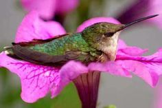 Hummingbird sleeping and relaxing