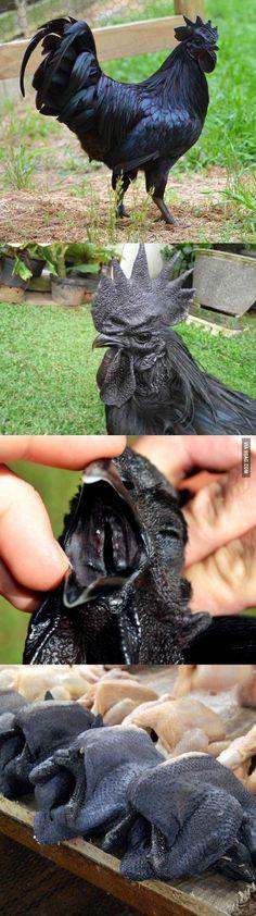 Rare All Black Chickens melanism