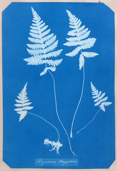 This makes me lean more towards the outline of a delicate fern for a tattoo.  Wouldn't that be something?  Cyanotype by Anna Atkins.