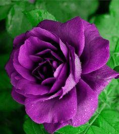 Beautiful Rose Flowers, Pretty Roses, Love Rose, Real Flowers, Beautiful Gardens, Lavender Roses, Purple Roses, Flower Landscape, Birth Flowers