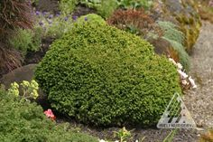 Cryptomeria japonica Vilmoriniana:  Deer Resistant Short, pointed, medium-green needles turn bronze-purple in winter on this small, dense, rounded selection. It adds texture and variety to the rock garden or courtyard.