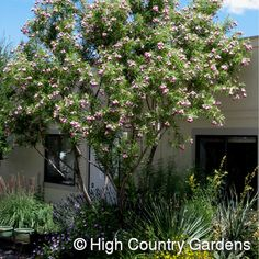 Desert Willow  for front yard small tree