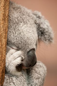 Beautiful Aussie Koala!!!!! Uh-oh!  I want him!!!!  I'll be the Crazy Koala Lady - is there a starter kit???