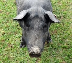 Raising pigs without smell and on the cheap » The Homestead Survival