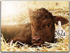 This was only a few hours old when mom let me in to take a photo in the farm. Let Me In, How To Take Photos, Country Life, Calves, Cow, Wildlife, Take That, Friday, Animals