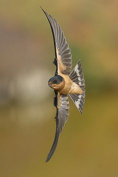 barn swallow in flight | Flickr - Photo Sharing!