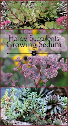 Learn about Sedum, a hardy succulent that comes in both tall and small sizes, and most survive the harsh winter weather.