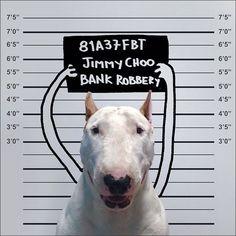 Hoy viajamos hasta Brasil para presentar al publicista Rafael Mantesso, el cual ha tenido una simple pero genial idea, crear simpáticas escenas con su Bull Terrier.