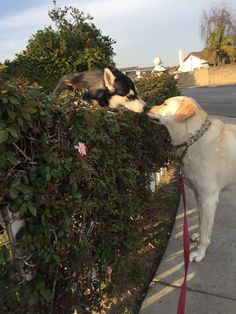 Every time I take my dog for a walk she has to stop to see her crush. It's like Romeo and Juliet