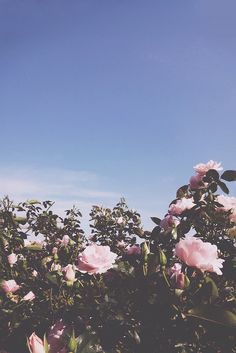 Pretty pink roses