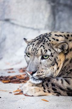 Julika | A pic from the female snow leopard at Zoo Karlsruhe.