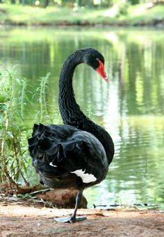 Black swan at Irene farm. I was chased by this guy when trying to take his photograph haha