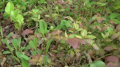 「クロマメノキ」 わかりずらい写真ですいません。 真ん中にある赤茶に染まった葉っぱがクロマメノキです。 岩手県では環境省の純絶滅危惧種に相当する Cランクに指定されている貴重な植物です。  6月から7月に白いお花をつけます。お花もきれいですが、 見ていただきたいのブルーベリーのような黒い実。 果実がぎゅぎゅっとつまった実を食べる事ができます。 初夏にまた楽しみが増えました。  台温泉登山コースにて、2014年5月撮影。