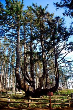 It is a Sitka spruce that has six trunks, like octopus tendrils, going skyward. The Cape Meares Lighthouse is here along with a nesting area for coastal seabirds that is cared as part of a United States Fish and Wildlife Preserve. Sitka Spruce, Unique Trees, Old Trees, Tree Roots, Nature Tree, Tree Forest, Oregon Coast, Tree Of Life, Trees To Plant