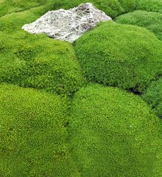 This fine leaved New Zealand native Scleranthus forms a dense, moss-like mounded cushion. It grows in full sun in sandy or gritty soil. It has tiny inconspicuous flowers in early summer. It grows into a mould tall and wide. It can attain. Rock Garden Plants, Shade Garden, Fertilizer For Plants, Cold Treatment, Green Cushions, Ground Cover Plants, Foliage Plants, Types Of Soil, Plantation