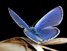 Blue Jewel by BugMan50, via Flickr