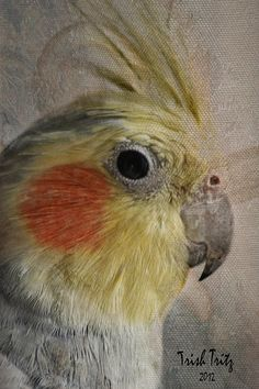 Sunny Days by Trish Tritz Cockatiel, Pretty Birds, Sunny Days, Sunnies, Fine Art, Wall Art, Cute, Animals, Colorful Birds