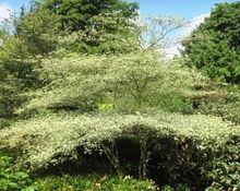 Cornus  alternifolia Variegata Pagoda Dogwood, Trees To Plant, Country Roads, Plants, Tree Planting, Plant, Planting, Planets