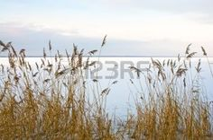 Brown reed at frozen, snow-covered lakeshore