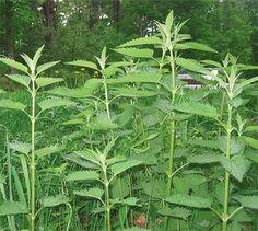 Stinging Nettles: A Favorite Spring Green