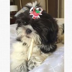 """Zoey a 5 month old Shitzu puppy. Here she is enjoying a tastey treat and rocking one of the bows from her """"Strawberry Shortcake"""" bow pair. We're so glad her mom found us and that's she's started with Snap-In Dog Bows early in her life!"""