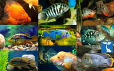 Amazing Assorted South American Cichlid live freshwater aquarium fish small