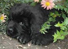 ~ Newfoundland dog ~ puppies