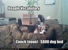 Beagle and Westie Vocabulary. Alice's favorite spot is a custom made chair