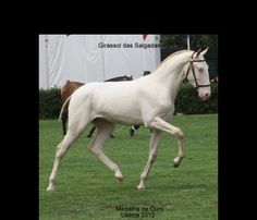 Isabella (European word for Cremello/Perlino) - not sure which one he is; Pictured is Girassol das Salgadas, a Lusitano stallion in Portugal