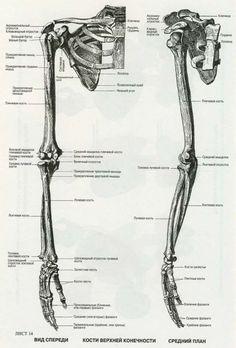 пластическая анатомия кости человека: 13 тыс изображений найдено в Яндекс.Картинках